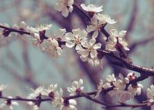 Дерево абрикоса весны зацветая Стоковые Фотографии RF