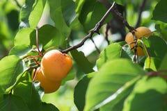 Дерево абрикоса Стоковые Фотографии RF