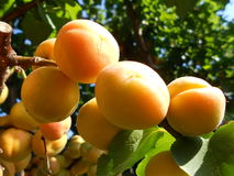 Дерево абрикоса Стоковые Фото