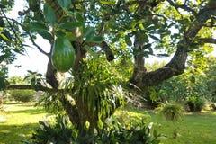 Дерево авокадоа стоковая фотография