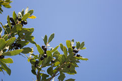 Дерево лавра залива (nobilis Larus) с плодоовощ стоковое фото rf