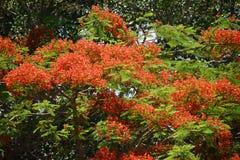 Дерево Австралии a красивое Poinciana с оранжевыми цветками стоковые фотографии rf