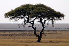 Дерево акации в африканском ландшафте стоковое изображение