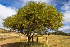 Дерево акации Стоковые Фотографии RF
