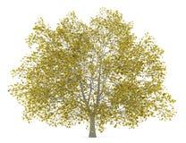 Дерево американского бука падения изолированное на белизне иллюстрация штока