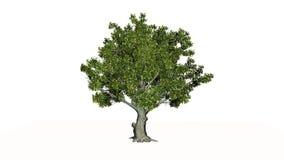Дерево американского бука иллюстрация штока