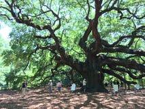 Дерево Анджела Стоковые Фото