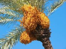 Дерево даты Стоковые Изображения