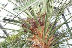 Дерево даты Стоковое Изображение