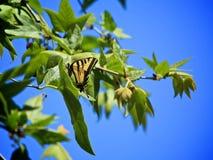 Дерево бабочки swallowtail тигра Стоковое Фото