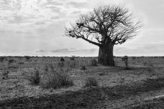 Дерево баобаба в национальном парке Tsavo в Кении Стоковая Фотография