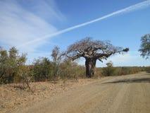 Дерево баобаба вдоль грязной улицы стоковая фотография