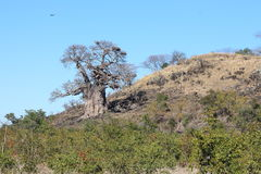 Дерево баобаба в Pafuri Стоковые Фото
