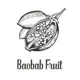 Дерево баобаба, плодоовощ, иллюстрация вектора эскиза гравировки гайки винтажной нарисованная рукой Черным по белому предпосылка Стоковое фото RF