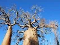 Дерево баобаба, хобот, ветви с плодоовощами и голубое небо Стоковая Фотография RF