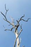 Дерево без листьев на голубом небе Стоковое Изображение RF