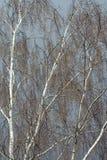 Дерево березы без листьев в предыдущей весне Стоковая Фотография RF