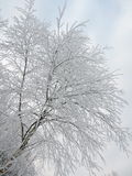 Дерево березы в заморозке Стоковые Изображения RF