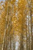 Дерево березы в конце падения Стоковое Изображение