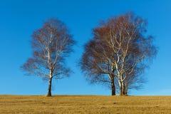 Дерево березы зимы на голубом небе. Стоковые Фотографии RF