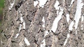 Дерево березы видеоматериал