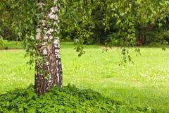 Дерево Березы повислая сиротливое растя в хорошо поддерживаемом парке Стоковые Изображения