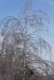 Дерево березы с свисая листвой последствие замерзающего дождя Стоковая Фотография RF