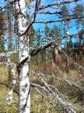 Дерево березы blusky Стоковая Фотография RF