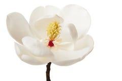 Дерево белых магнолий цветка магнолии флористическое Стоковая Фотография RF