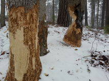 Дерево бобра Стоковые Фото