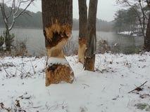 Дерево бобра Стоковые Изображения