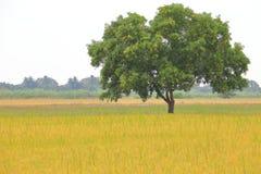 Дерево большой зрелой стойки одно на золотом поле луга стоковые изображения