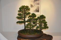 Дерево бонзаев внутри помещения Стоковые Фото
