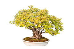 Дерево бонзаев клена трёхзубца Стоковое фото RF