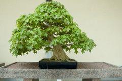 Дерево бонзаев клена трёхзубца Стоковые Изображения
