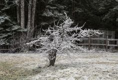 Дерево боярышника в зиме стоковое фото
