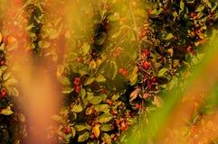 Дерево боярышника в лучах заходящего солнца стоковое изображение