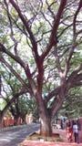 Дерево, большое дерево, огромное дерево, большие деревья растя около дороги, Стоковая Фотография RF