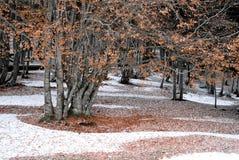 Дерево бука Стоковое Изображение RF
