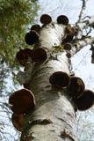 Дерево бумажной березы с грибами Стоковое Фото