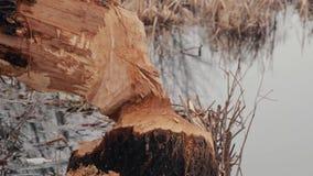 Дерево было сорвано вниз бобром на береге резервуара Трассировки бобра акции видеоматериалы