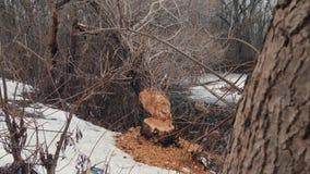 Дерево было сорвано вниз бобром на береге резервуара Трассировки бобра сток-видео