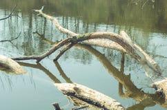 Дерево валить бобрами в воде стоковая фотография rf