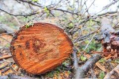 Дерево валить в лесе Стоковые Изображения