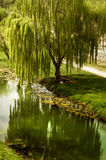 Дерево вербы водой Стоковое Изображение