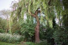 Дерево вербы в местном парке с сочной листвой Стоковая Фотография