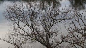 Дерево вербы зимы рекой Waikato в Ngaruawahia, Новой Зеландии стоковое фото