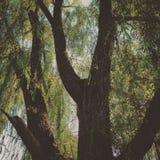 Дерево вербы стоковая фотография rf