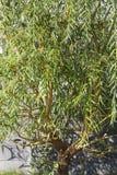 Дерево вербы Стоковое Фото
