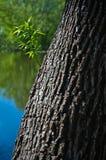 Дерево вербы Стоковые Изображения